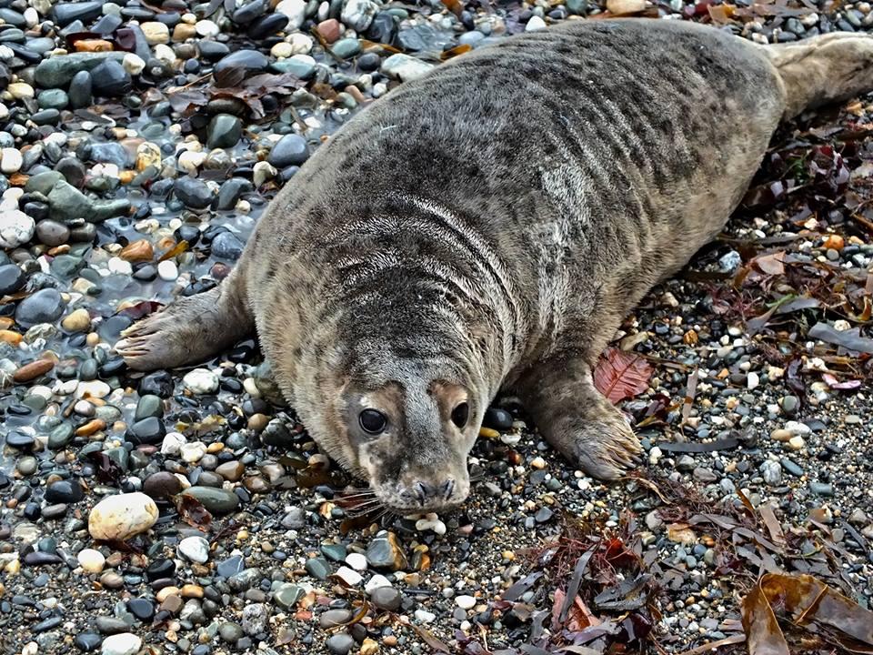 Cara the seal (Pic: Ceaneacht O'Hoctun)
