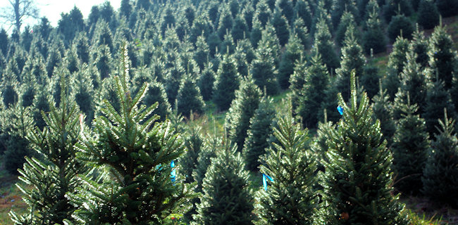 Christmas-tree-farm
