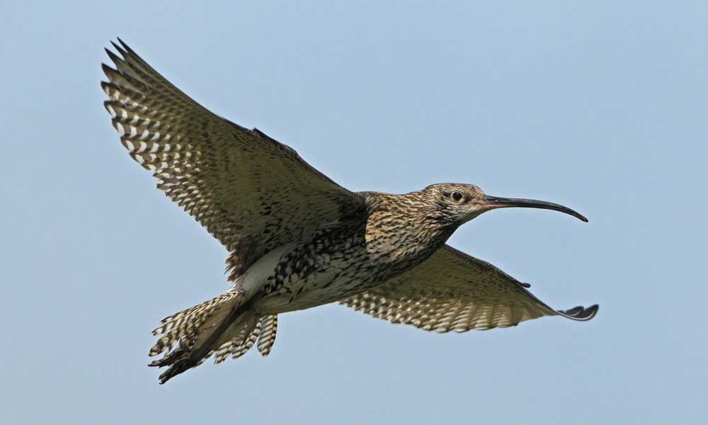 Curlew-Colm-Clarke