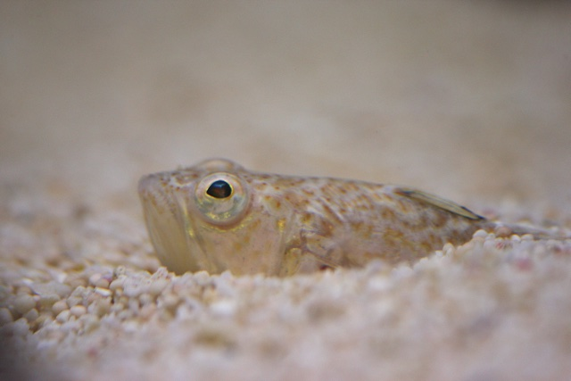 Mandatory Credit: Photo by FLPA/REX/Shutterstock (3278345a) Lesser Weever (Echiichthys vipera) adult, buried in gravel, Gibraltar Point, Lincolnshire, England Nature